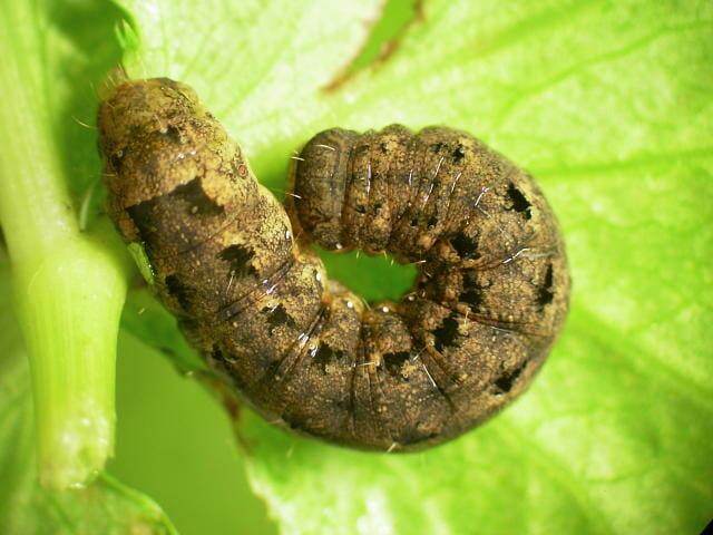 ヨトウガの老齢幼虫