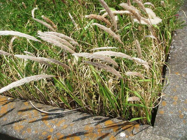 路傍に繁茂するチガヤ、特徴的な銀白色の円錐花序を付けている