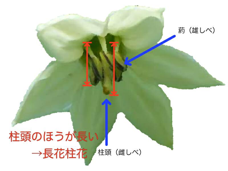 ピーマンの生育がいい状態の花の形を表したイラストです。柱頭(雌しべ)と葯(雄しべ)があり、柱頭のほうが長い長花柱花の場合は生育が良い状態です。逆に短花柱花や中花柱花の場合は、生育が落ちてきています。