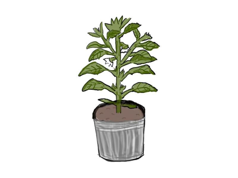 ピーマンの苗のイラストです。