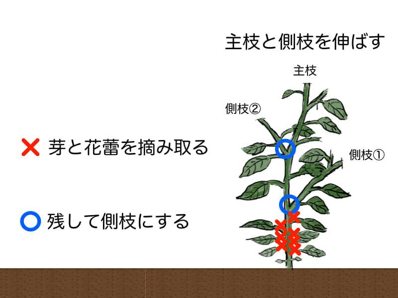 ピーマンの整枝のやり方を示した画像です。