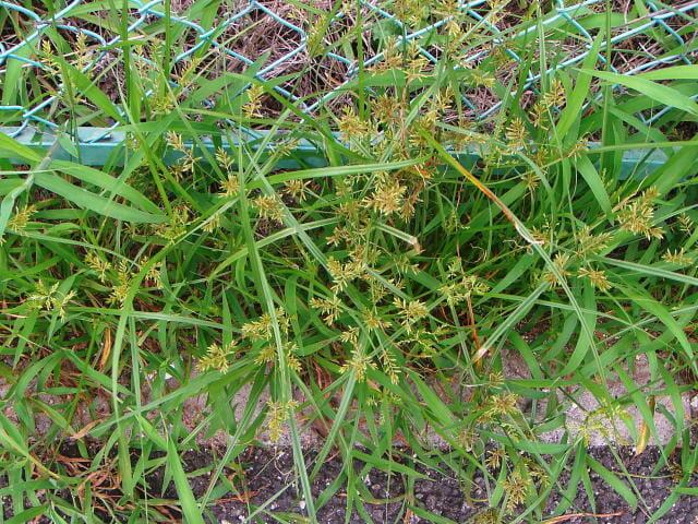 フェンスの隙間で繁茂するカヤツリグサ