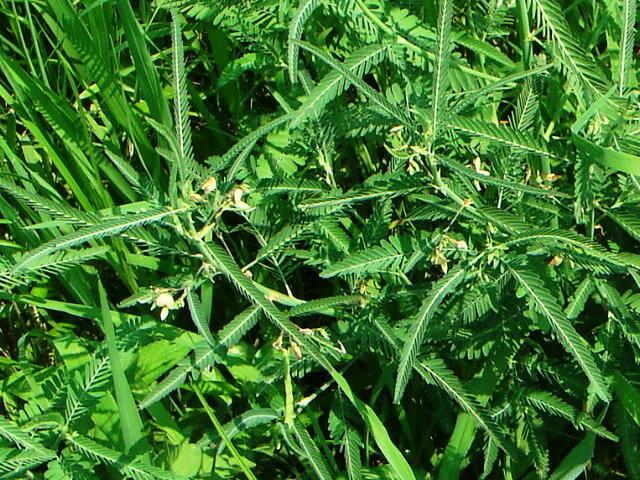 水田で繁茂するクサネム