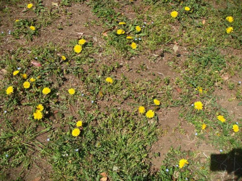 畑地に生えるセイヨウタンポポの画像です。