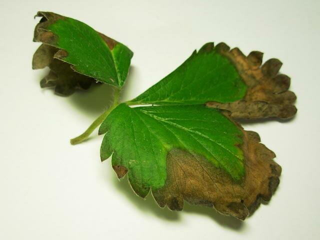 灰色かび病にかかったいちごの葉