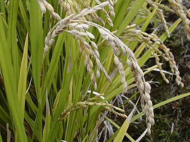 穂首に褐色の病斑を生じた穂いもち病の穂