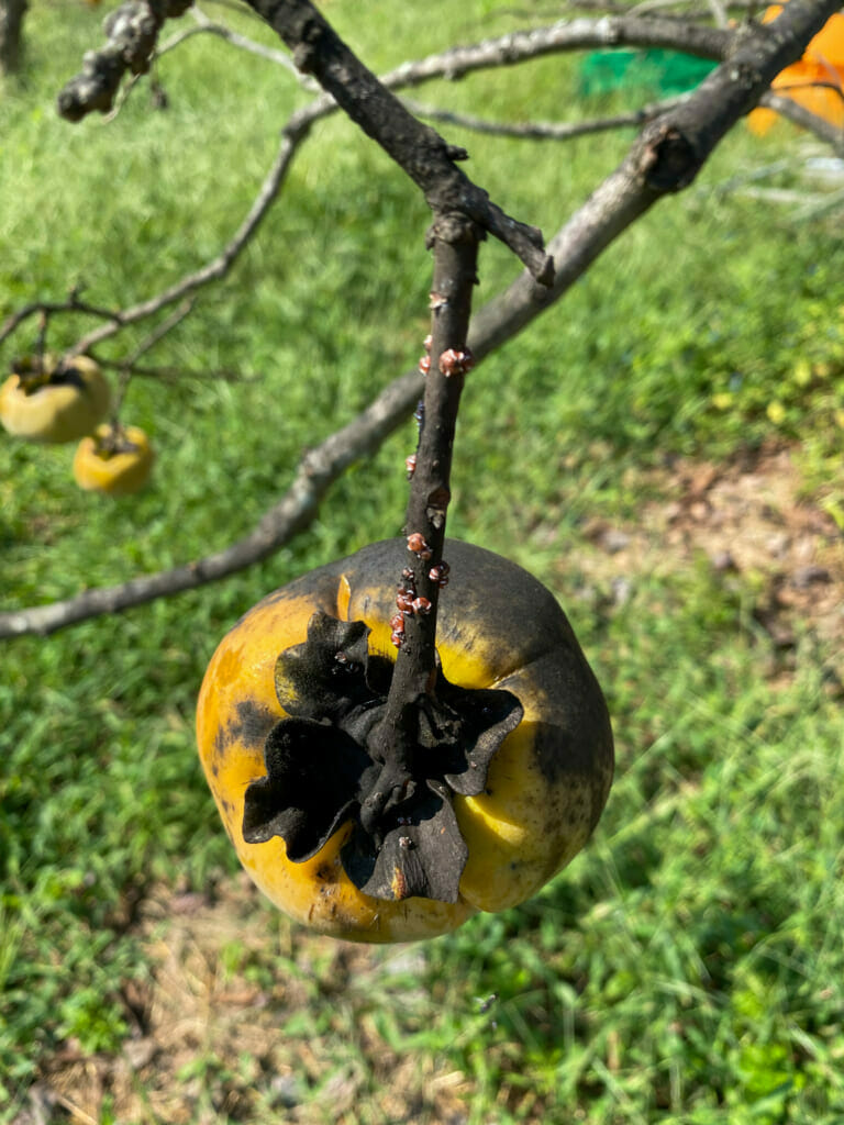 カイガラムシで真っ黒のすす病になった柿