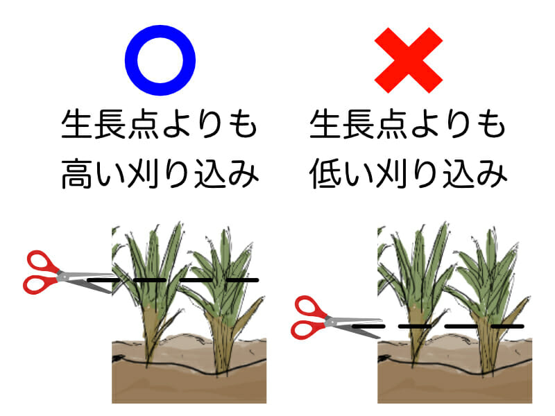 芝生の刈り込みに関する正しい位置を示したイラストです。生長点よりも高い刈り込みが適正で、それよりも低く刈り込むと軸刈りになってしまいます。