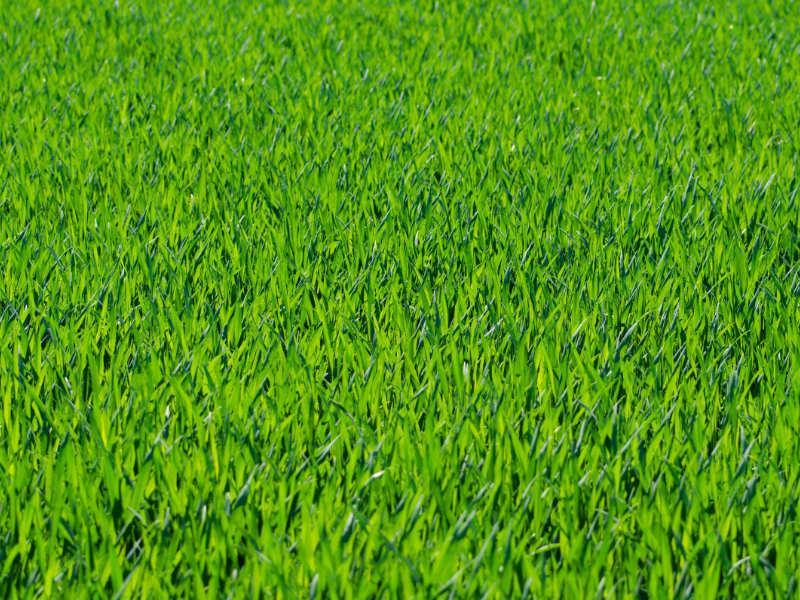 芝が青々としている画像です。
