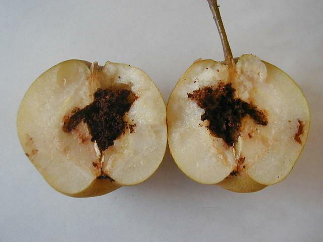 モモシンクイガに食害された梨